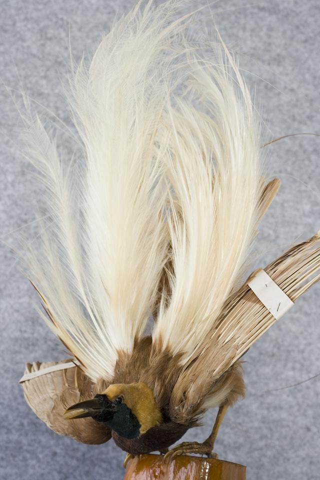 極楽鳥の剥製-04