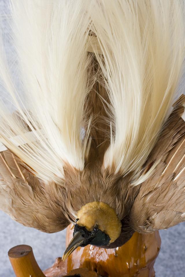 極楽鳥の剥製-05