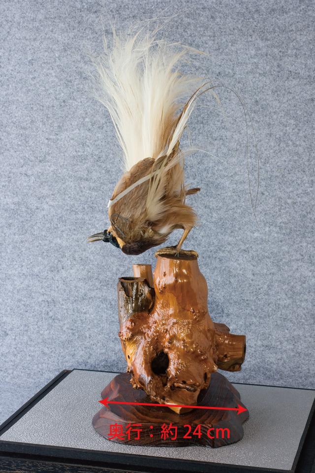 極楽鳥の剥製-08a