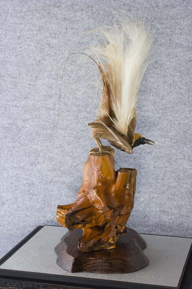 極楽鳥の剥製-10